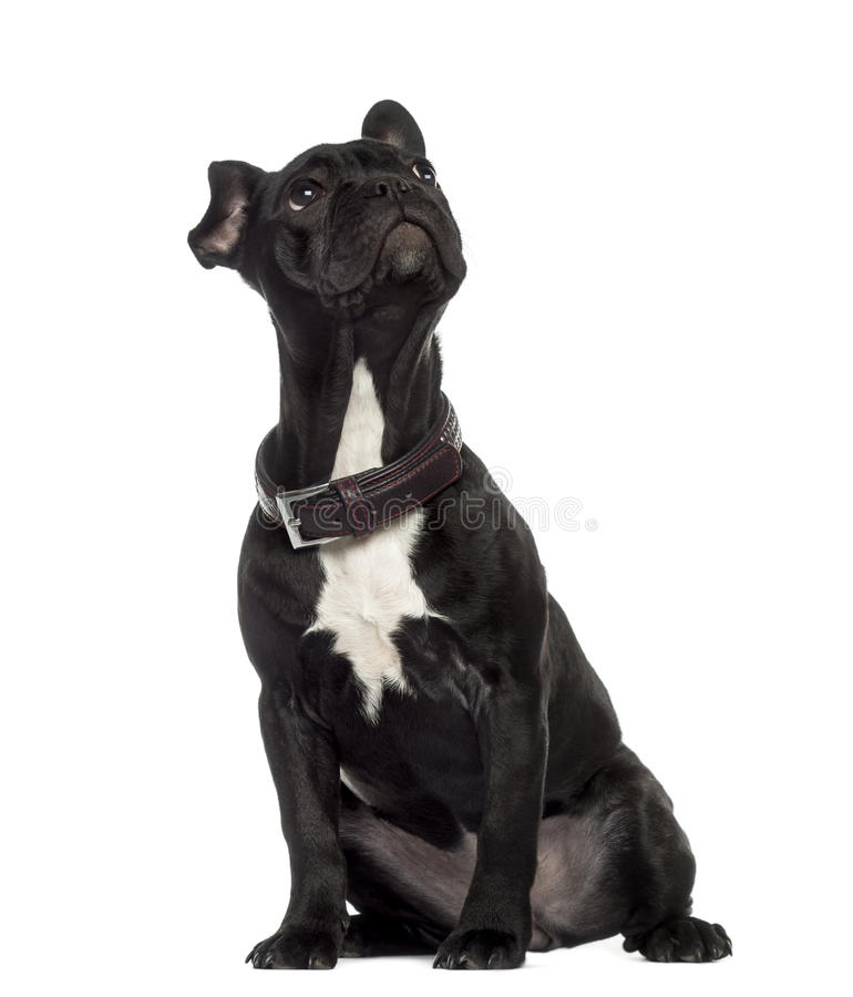 French Bulldog sitting and looking up stock photos