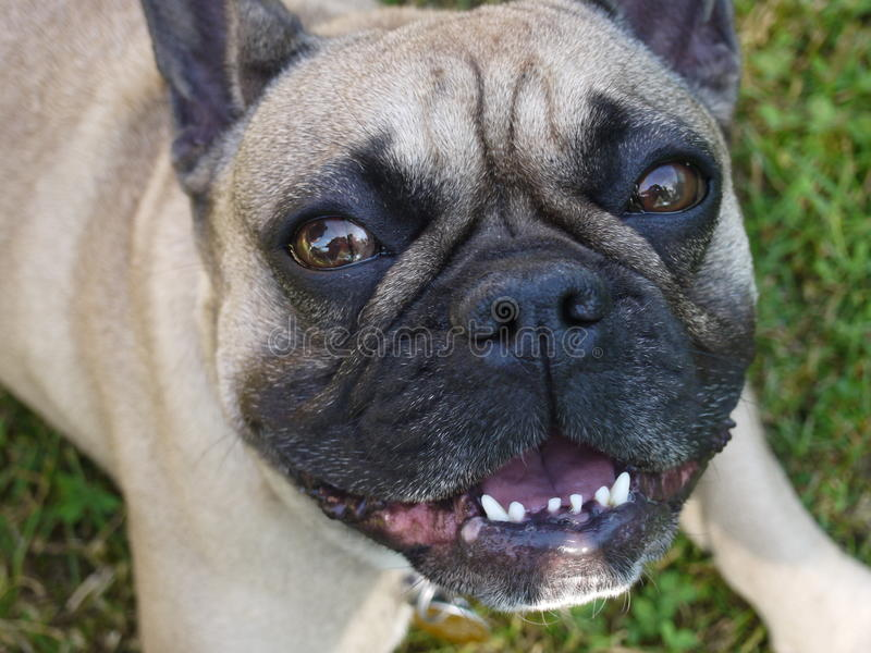 French Bulldog smiles and lies royalty free stock images