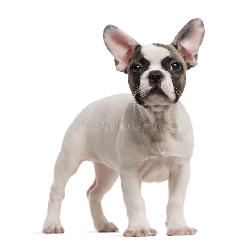 French Bulldog standing in front of a white backg. French Bulldog (3 months old) standing in front of a white background royalty free stock images