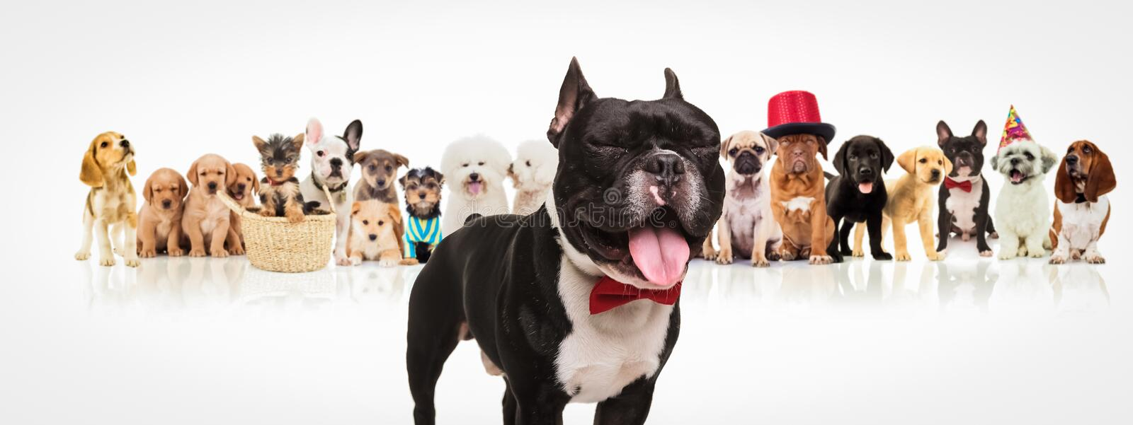 French bulldog sticking out tongue in front of dogs pack. Happy french bulldog puppy wearing bowtie sticking out tongue and having fun in front of a large group stock photography