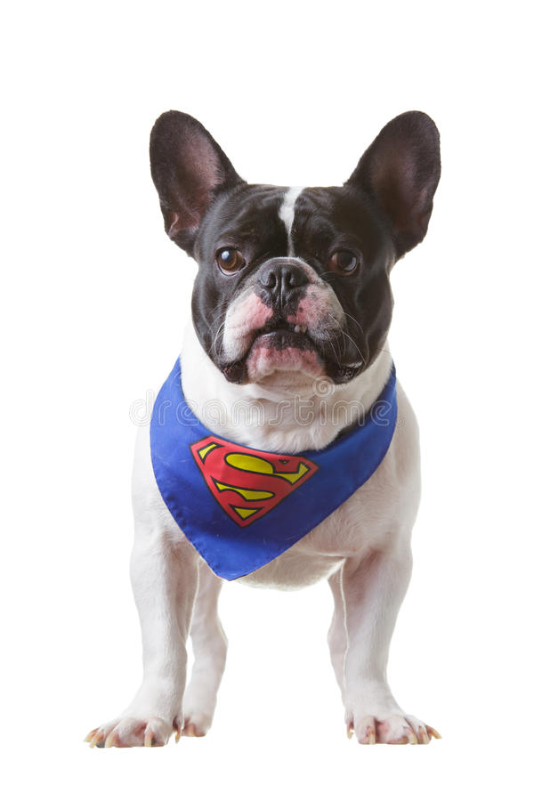 French Bulldog superman royalty free stock photography