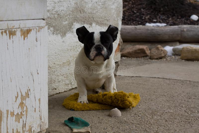 French Bulldog waiting on a carpet stock photo