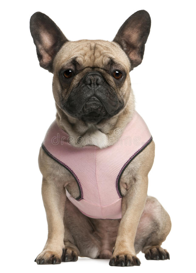 Download French Bulldog Wearing Pink, 18 Months Old Stock Photo - Image: 17255640