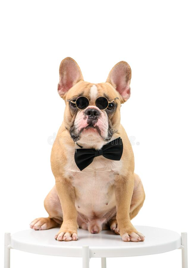 French Bulldog is wearing sunglasses and a black bow tie sitting on a white table royalty free stock photography