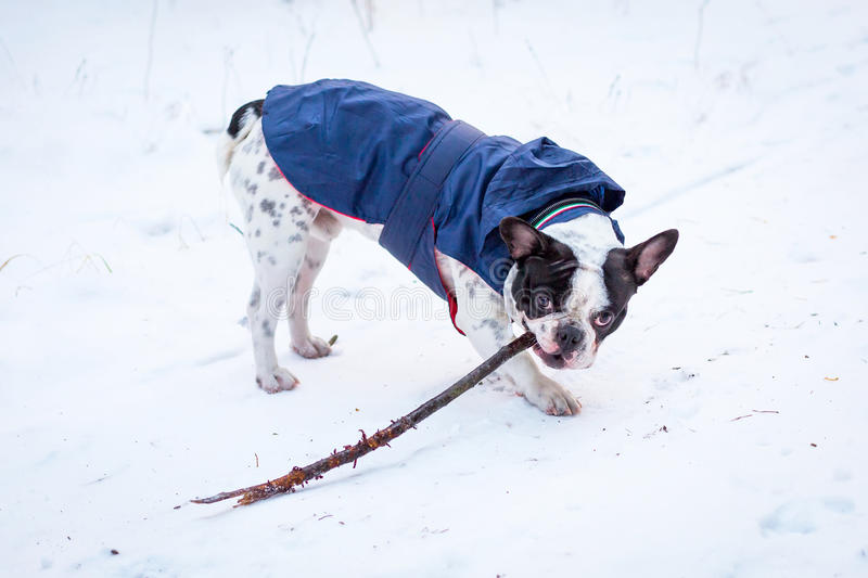 French Bulldog In Winter Jacket Stock Images