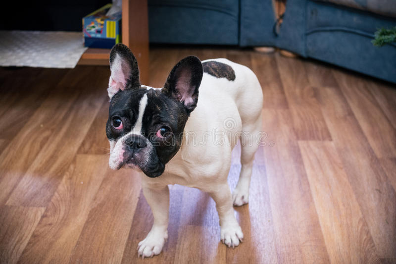 Download French bulldog stock photo. Image of home, floor, indoors - 67410808