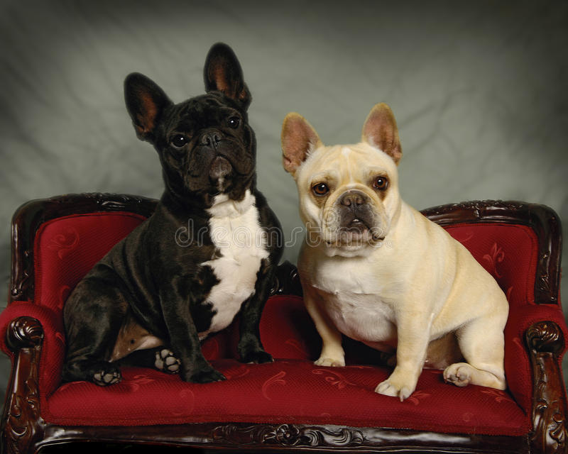 Download French Bulldogs stock image. Image of gentle, white, couch - 9439453