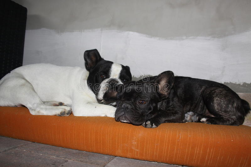 French Bulldogs, loving each other stock image