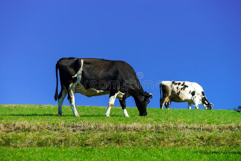 French cows on green field pasturage. Summer sunny day, vivid colors stock image