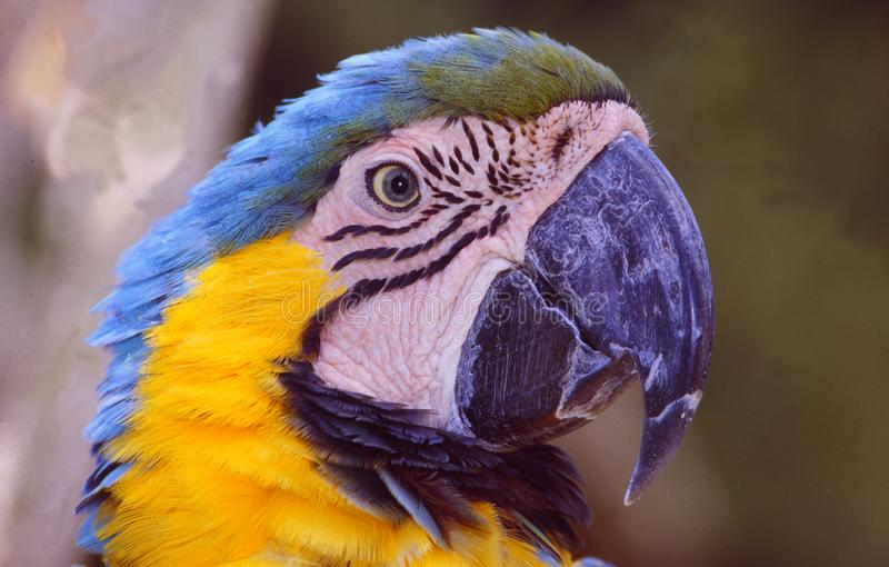 French Guyane: A Ara Papagei, which is an endangered species. French Guyane: A beautifull yellow blue Ara Papagei, which is an endangered species stock photos