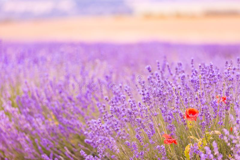 French lavender field at sunset. Provence, Lavender field at sunset, Valensole Plateau. stock photography