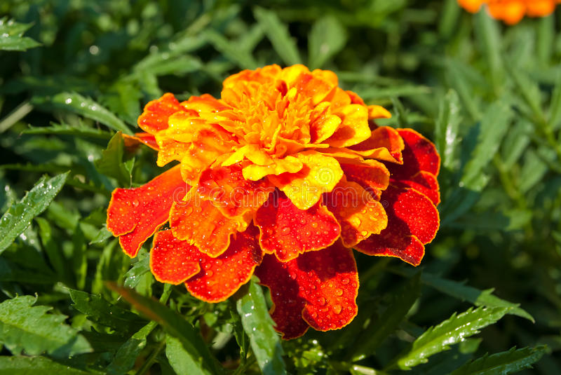 French marigold stock photography