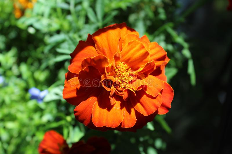 French marigold clse up shaded. Tagetes erecta, the Mexican marigold or Aztec marigold, is a species of the genus Tagetes native to Mexico. Despite its being royalty free stock images