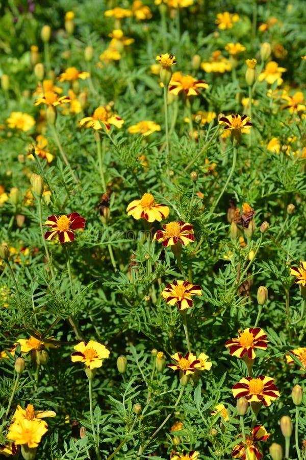 French marigold Mr. Majestic stock photo