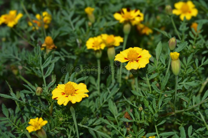 French marigold Mr. Majestic royalty free stock images