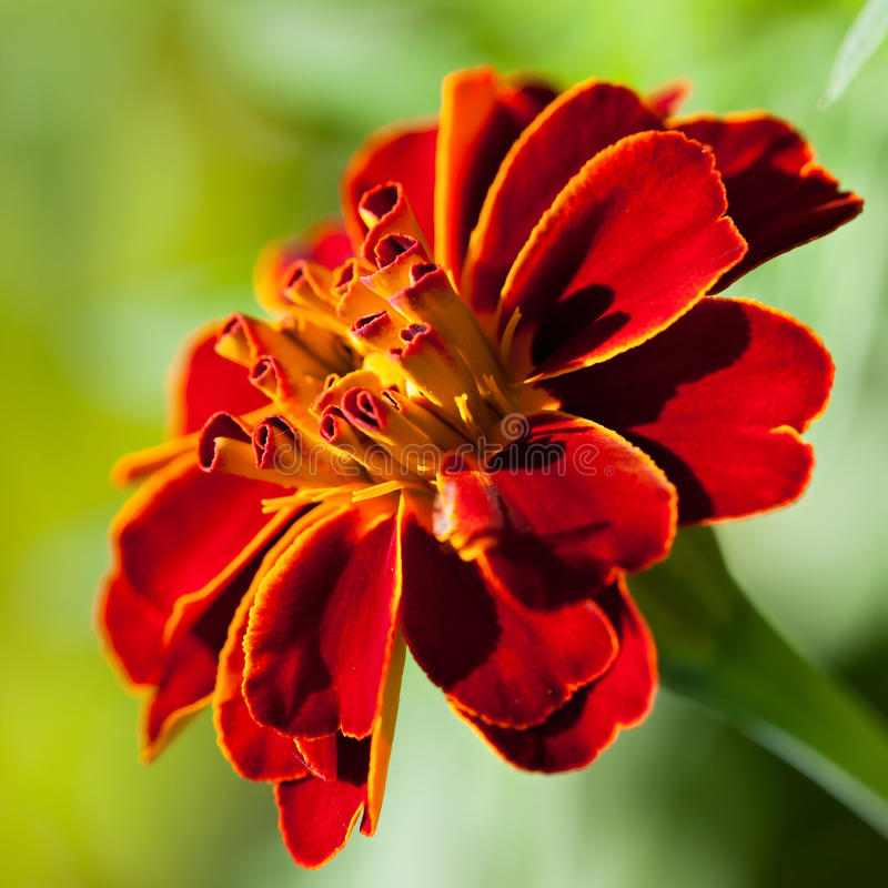 Free French Marigold (Tagetes Patula) Royalty Free Stock Photography - 41629817