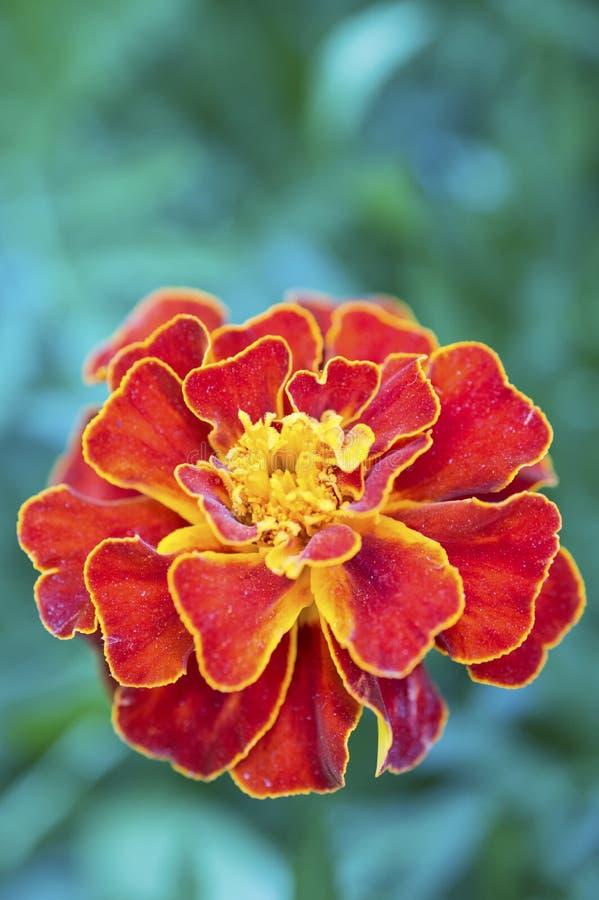 French marigold (Tagetes patula) stock photos