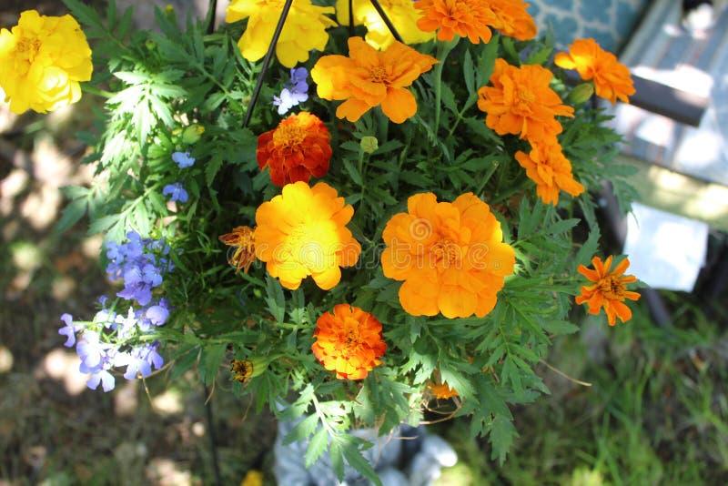 French marigold Tagetes patula royalty free stock image