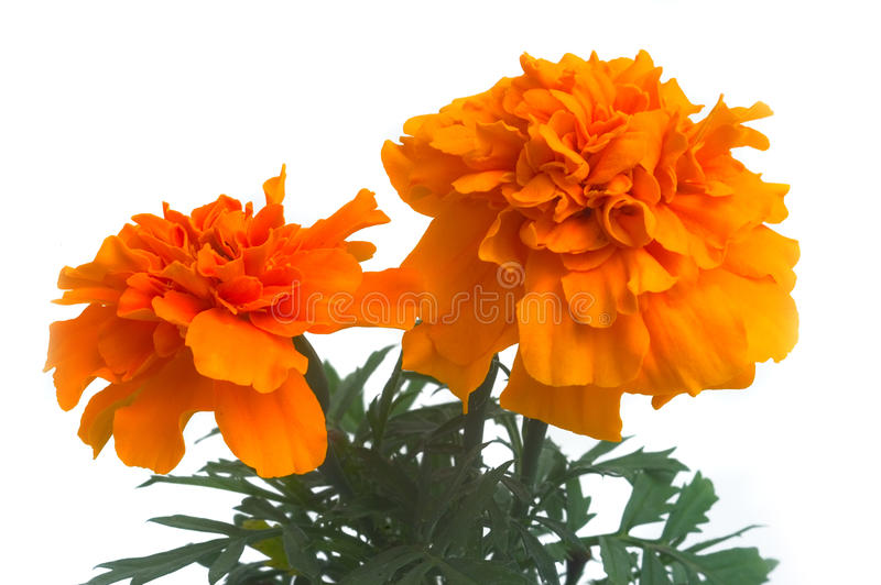 French marigolds. Seedlings of French marigolds ready to be planted out of vat or with the garden stock image