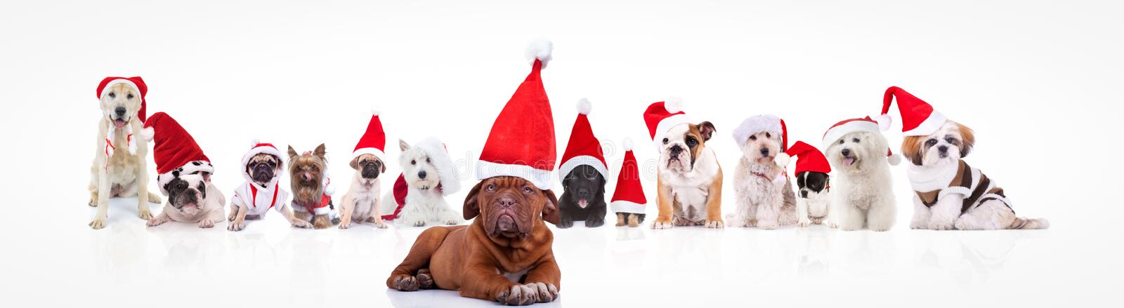 French mastiff leading a large group of santa claus dogs. Large group of dogs wearing santa claus hats or costumes with french mastiff in front of them on white stock photos