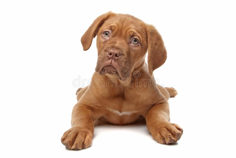 French Mastiff puppy stock photography
