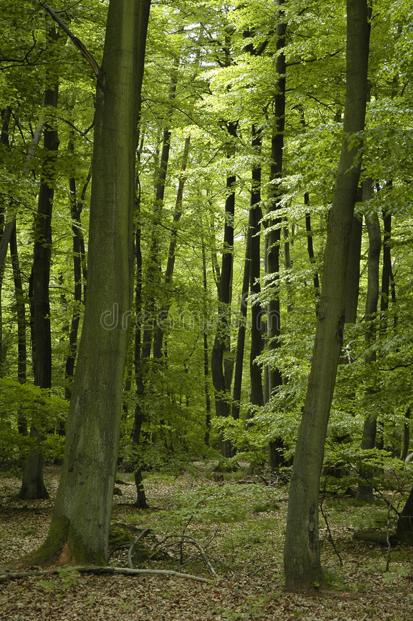Download French Oak And Beech Forest Stock Image - Image: 7466785
