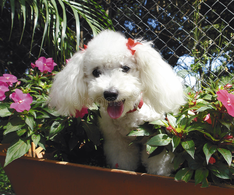 French poodle stock photo