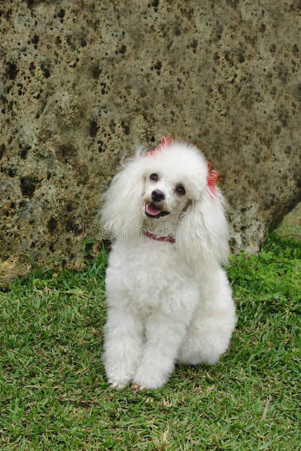 French poodle attentive. Pure breed white french poodle attentive stock photo