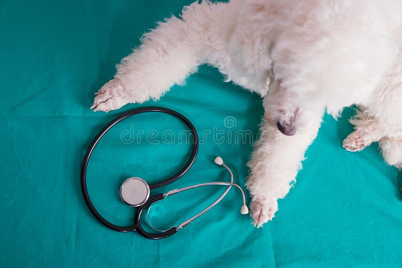 French poodle with a stethoscope stock photo