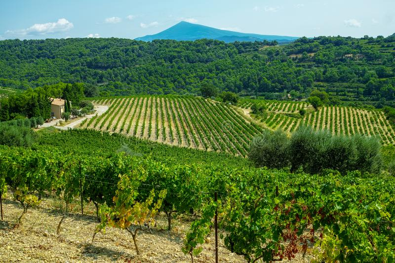 French red AOC wine grapes plant, new harvest of wine grape in. France, Vaucluse, Gigondas domain or chateau vineyard Dentelles de Montmirail landscape stock photography