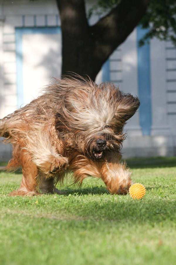 French Shepherd Briard, Ball Plaing Royalty Free Stock Images