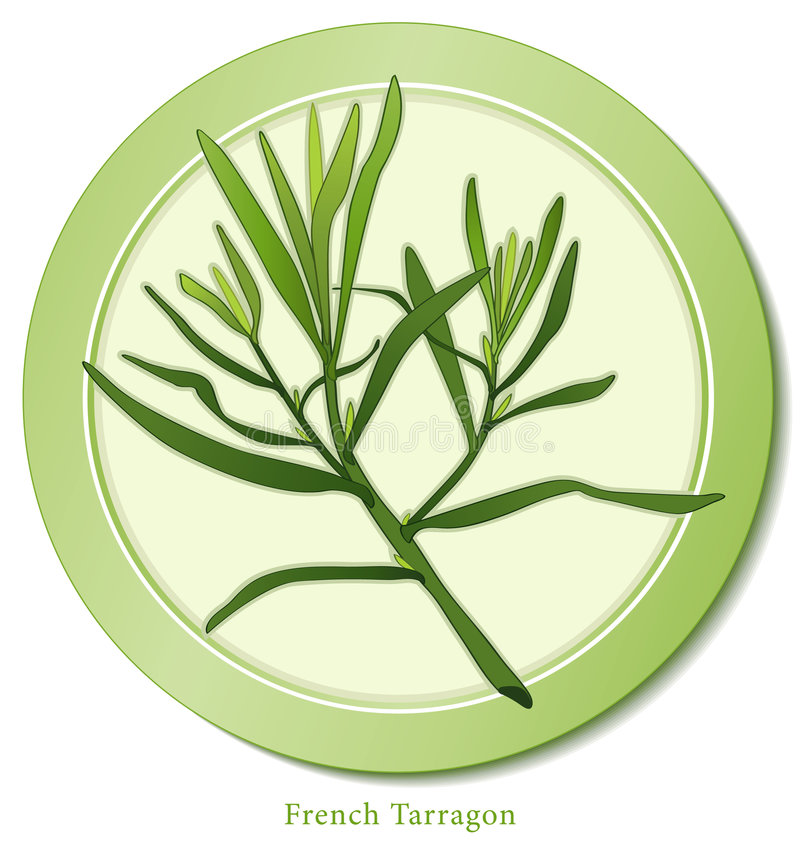 French Tarragon Herb. French Tarragon, aromatic perennial herb with lance-shaped leaves is a classic ingredient of Fines Herbes used in Mediterranean cuisine for royalty free illustration
