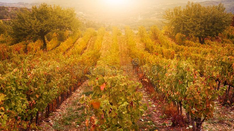 A French vineyard in golden autumn light. stock photos