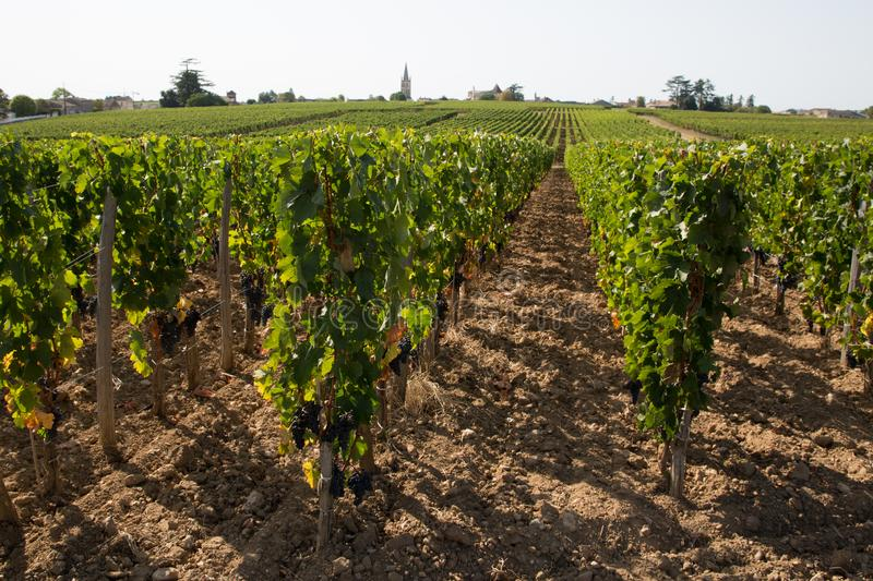 French vineyard in Medoc Bordeaux grape wine farming summer day stock photos