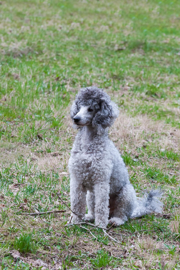 French white poodle sit on green grass stock photos