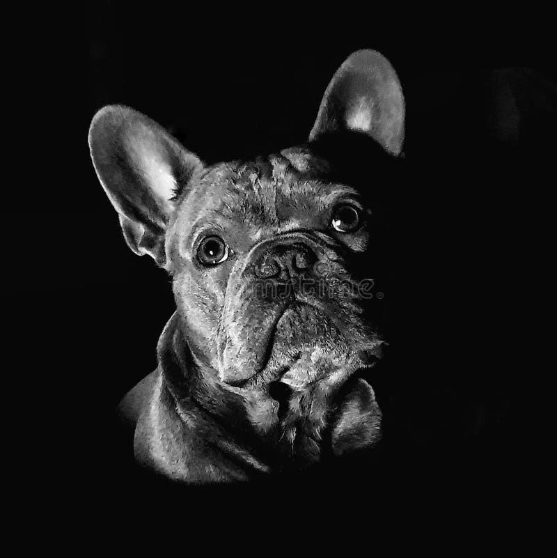Frenchie in bianco e nero immagini stock libere da diritti