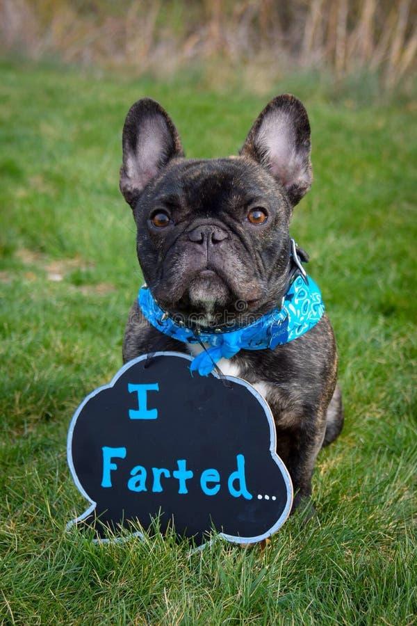 Frenchie divertente fotografie stock libere da diritti