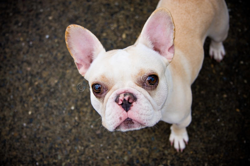 Frenchie stock photography