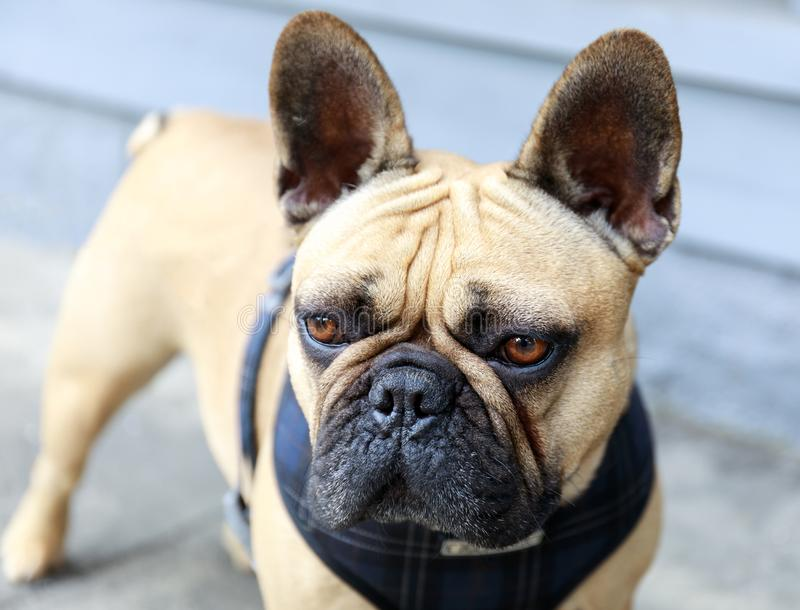 Frenchie mignon sur une promenade de chien dans la ville photo libre de droits