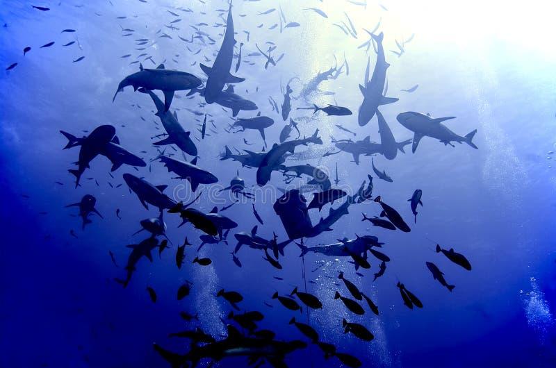 Frenesí que introduce del tiburón foto de archivo