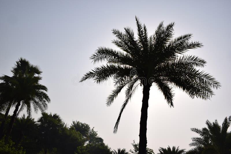 Frente de las palmeras de la fecha de la salida del sol en el paisaje de la madrugada fotografía de archivo