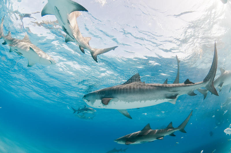 A frenzy of sharks. A collection of tiger and lemon sharks swimming side by side in shallow, clear water stock photos
