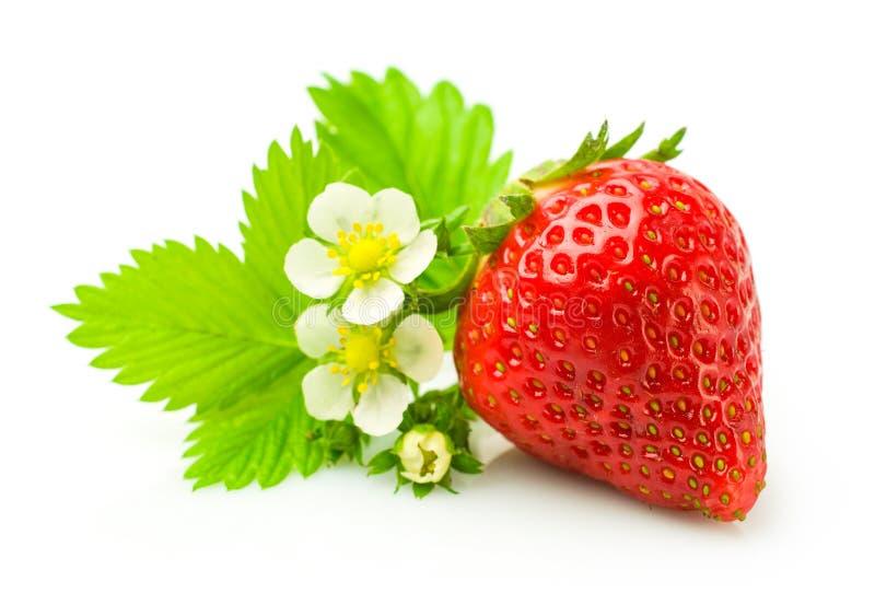 Fresa madura fresca con la hoja y las flores fotos de archivo libres de regalías