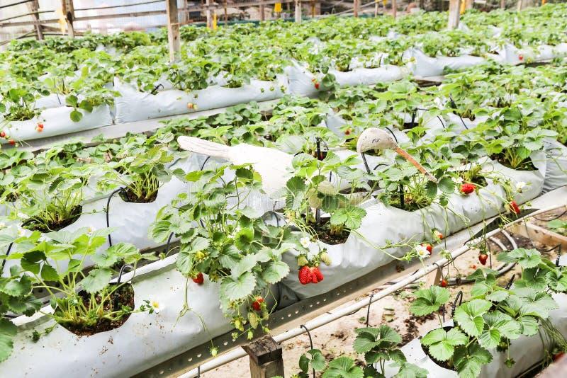 Fresa que cultiva en envases con el sistema de irrigación del toldo y del agua fotografía de archivo libre de regalías