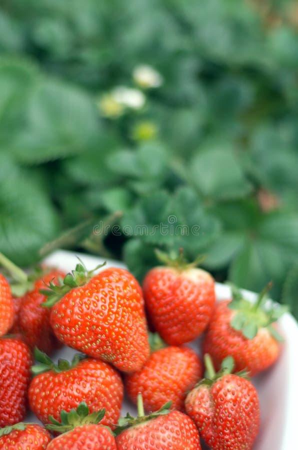 Download Fresas imagen de archivo. Imagen de fruta, jardín, rojo - 177949