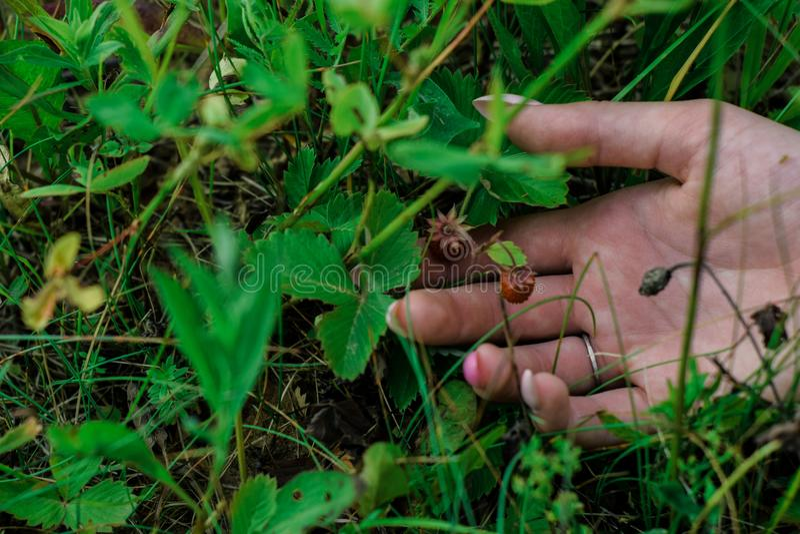 Fresas de la baya en la hierba verde con la mano del ` s de la muchacha fotografía de archivo