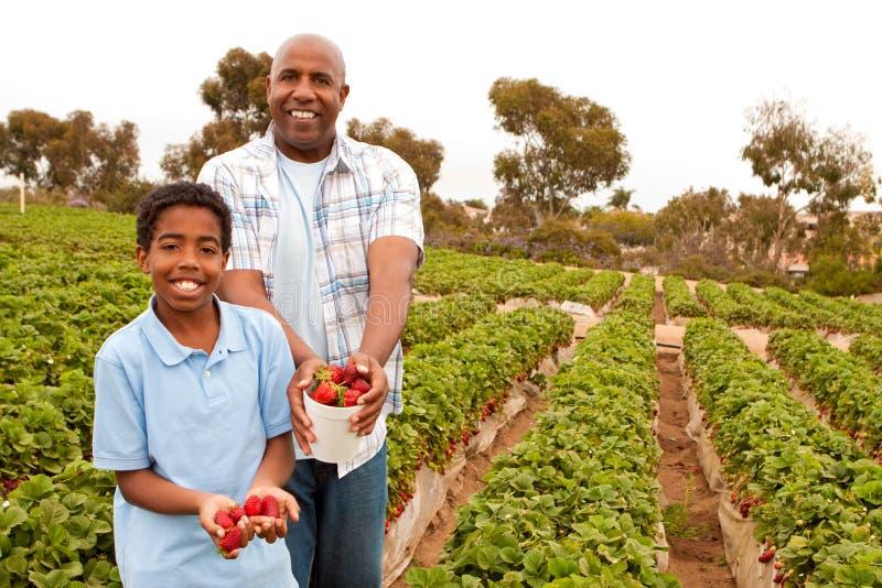 Fresas de la cosecha del padre y del hijo afuera fotografía de archivo libre de regalías