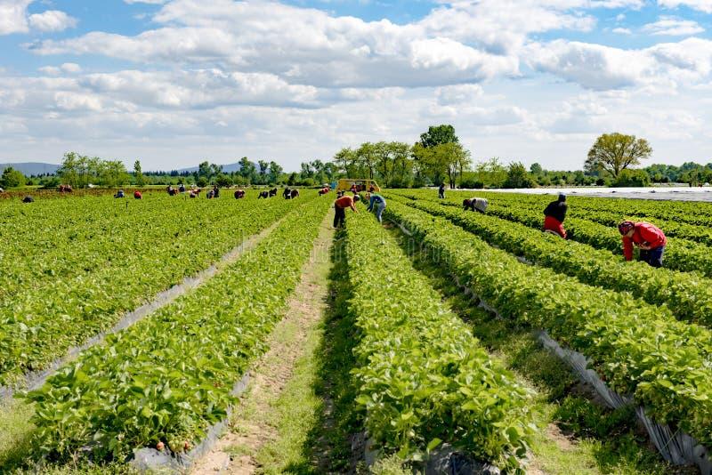 Fresas de la cosecha del trabajador en el campo, cosechando las fresas, temporeros en las tierras de labrantío, Alemania imágenes de archivo libres de regalías