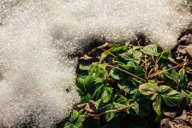 Fresas debajo de la nieve imágenes de archivo libres de regalías
