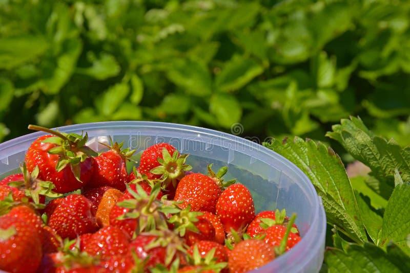 Fresas frescas recolectadas en una plantación de la fresa fotografía de archivo